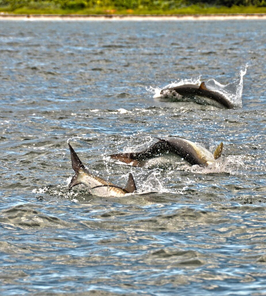 A picture of Tarpon Fishing Charters with Crystal River Fishing Charters